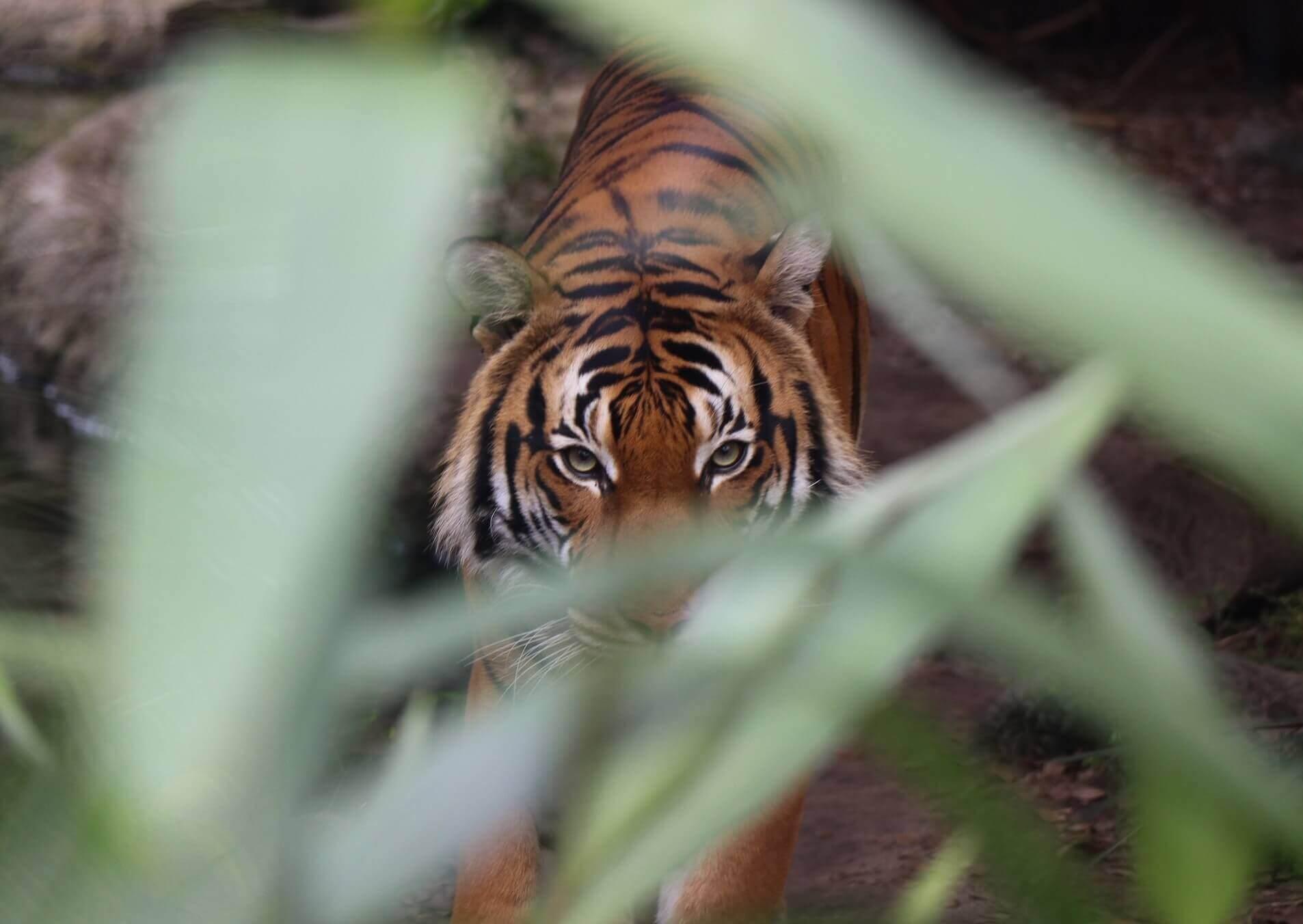 Поясним за новости: в Приморье можно пожить в тайге и увидеть тигра