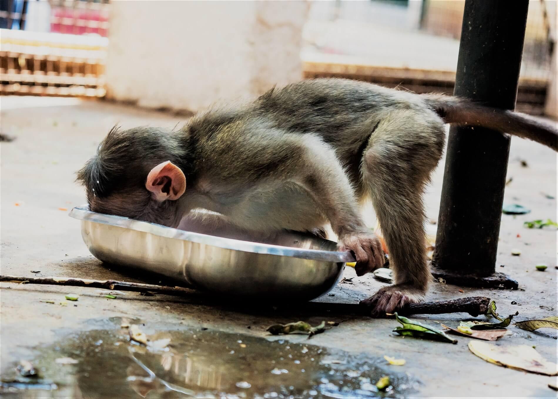Скандал в джунглях: обезьян лишили зарплаты